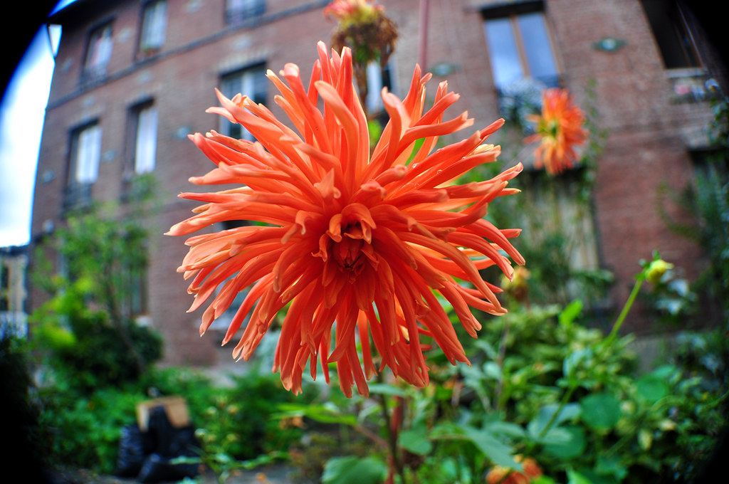 Dahlia Cactus Orange 1