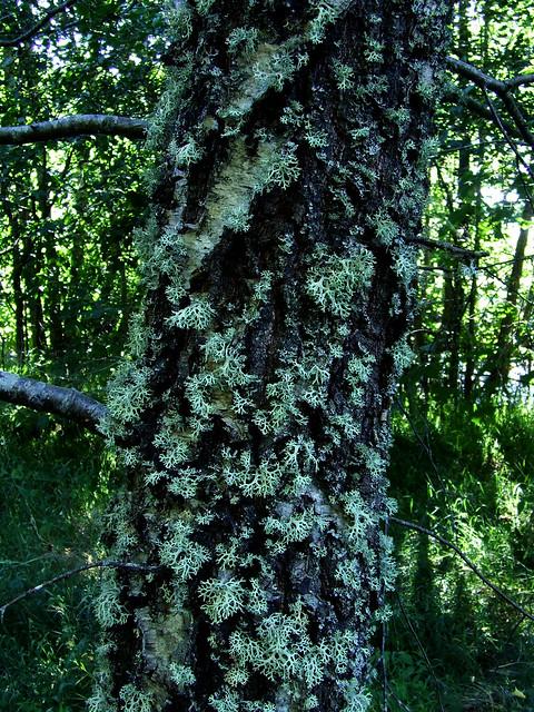 belichened birch along Nethy River