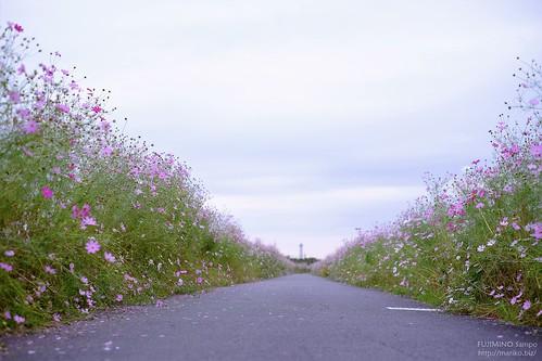 富士見江川コスモスロード20161013-DSCF1424 (2)-t