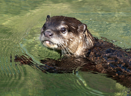 Small Clawed Asian Otter , swimming through green water and looking at the camera.