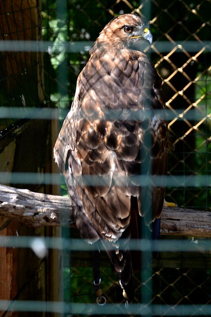 Rose the Red-Tailed Hawk