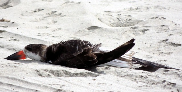 Black Skimmer Snoozing - Used with permission.  Copyright 2013 Kathy Deyell All rights reserved