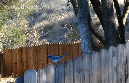 Backyard Blue Bird