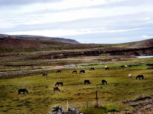 Iceland's horses by SpatzMe