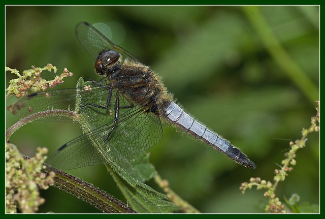 Scarce Chaser male