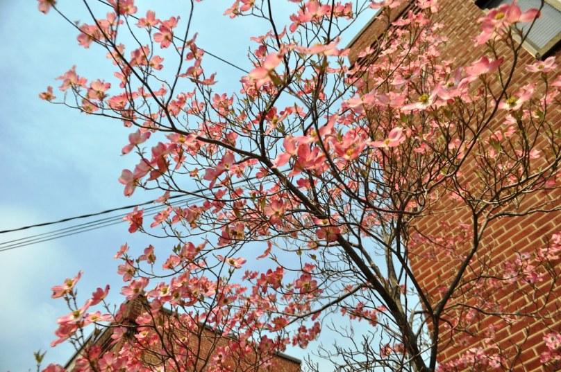 Spring Blossoms in Downtown Staunton, Virginia, April 2014