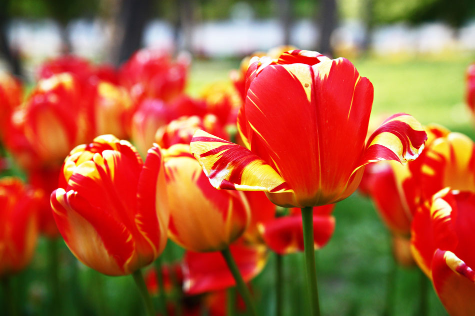 Istanbul Tulip Festival - Red/Yellow TUlips