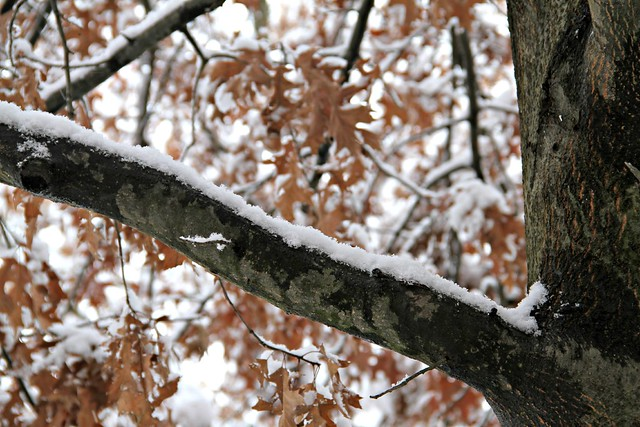snow-covered pin oak