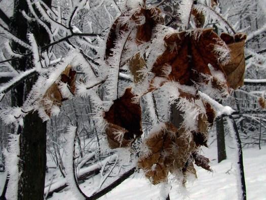 ice-fogged maple leaves
