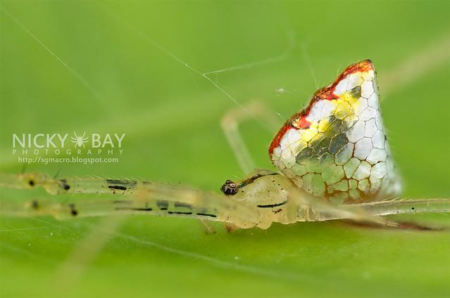 Mirror spider, Thwaitesia sp. photo Nick Bay