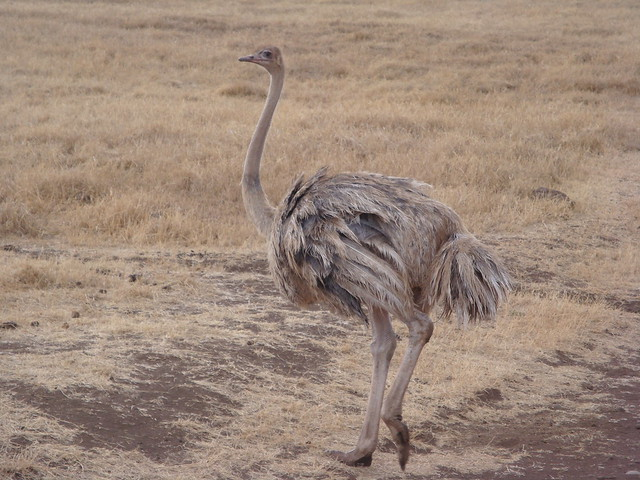female ostrich in Ngorongoro conservation area