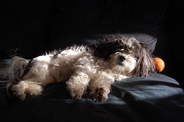Canine Chiaroscuro