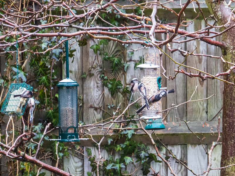 The usual bevy of Long-tailed tits has turned up, despite the rain