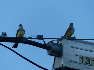 North Kamloops Kingbirds