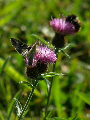 Silvery Y moth III