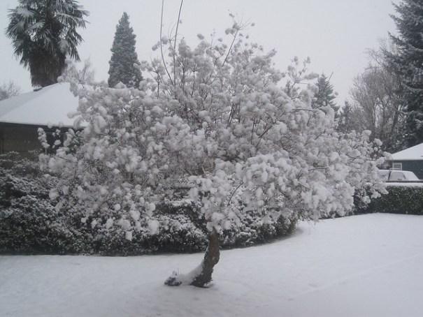 Plump ripe snowfruit ready for harvest.