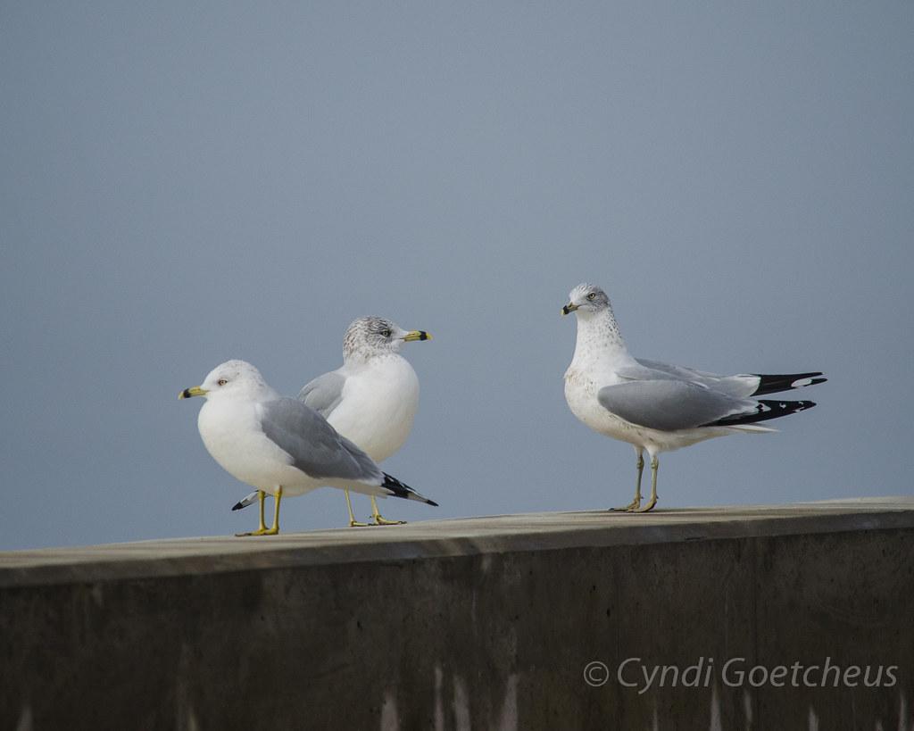 seagulls goetcheus