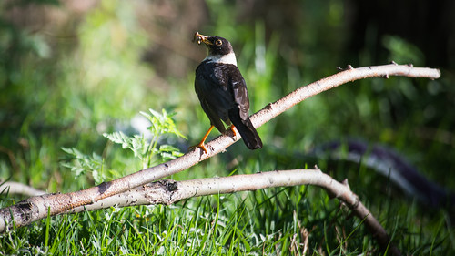 White-collared Blackbird (male) with feed