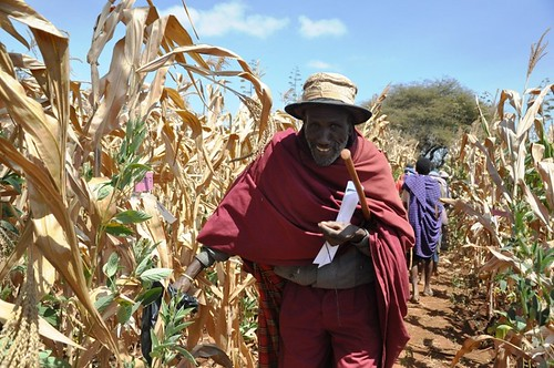 A farmer selecting the maize he liked most