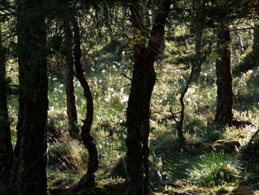 pines and cotton grass, Abernethy forest