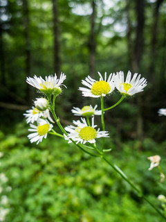 Daisies at Hills Creek Falls