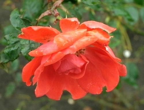 Rote Rose im Advent