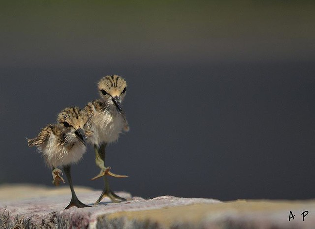 BLACK WINGED STILT chicks  jamnagar