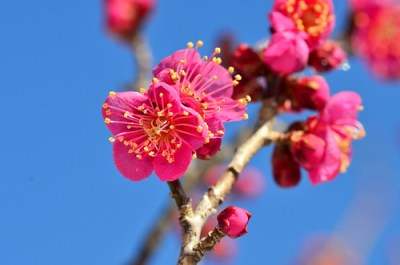 Japanese apricot/紅梅/ウメ