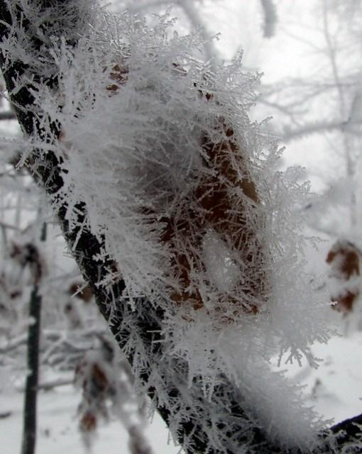 ice-fogged leaf