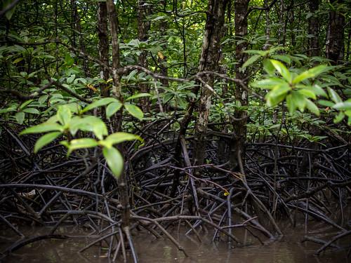 红树林的枝干,对环保做出巨大贡献