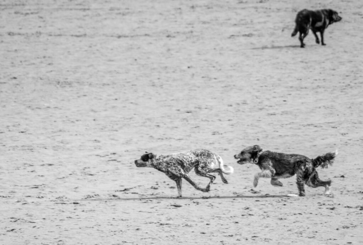 Dogs BW