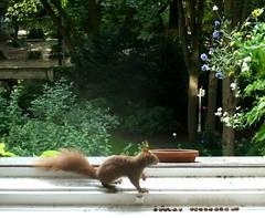 Eichhörnchen 4.3