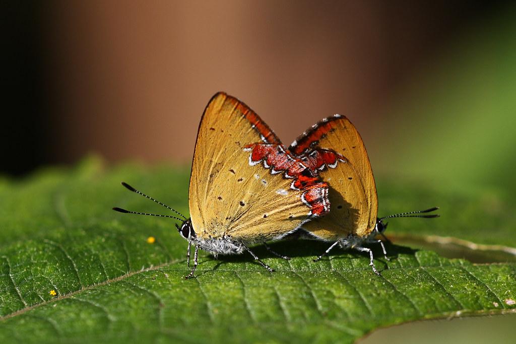 紫日灰蝶---紅邊黃小灰蝶 | 幸福 紫日灰蝶 攝影:孫金星 | TEIA | Flickr