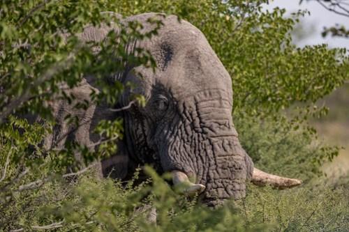 Old Elephant in Etosha Pan