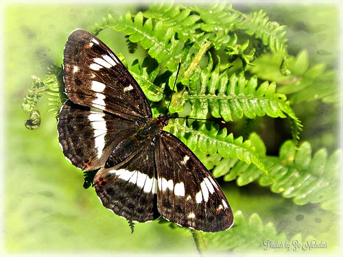 White Admiral Butterfly by Zo Nicholas