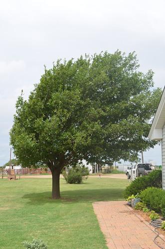 The Campbells tree that always amazes me