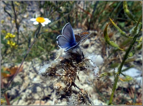 "Mariposas de la familia ""Lycaenidae"" by JOSE RUIZ QUESADA"