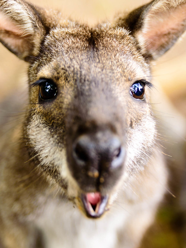 Wallaby close up