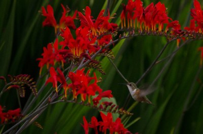 hummingbirds on the montbretia