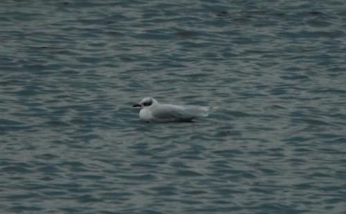 Mediterranean Gull  Ichthyaetus melanocephalus Tophill Low NR, East Yorkshire January 2014