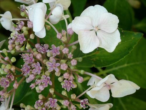 Weiße Hortensie 3
