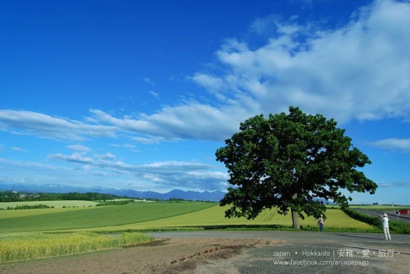 《北海道自驾游》Seven Star Tree セブンスターの木:拼布之路一号景点