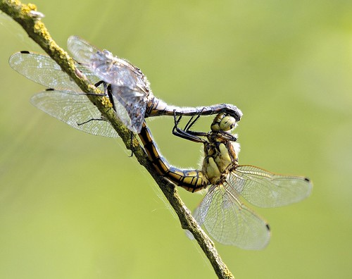 Black-tailed Skimmers( Orthetrum cancellatum )