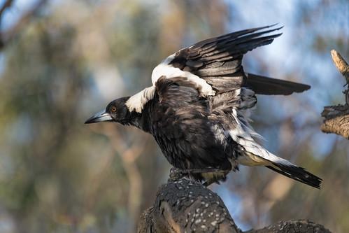 Australian Magpie 2013-11-06 (IMG_5130)