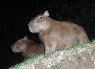 Puerto Maldonado - Capibaras
