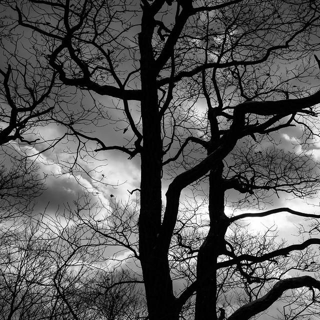 Oak and clouds