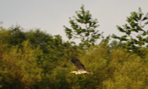 20130807-24_Heron in flight by gary.hadden