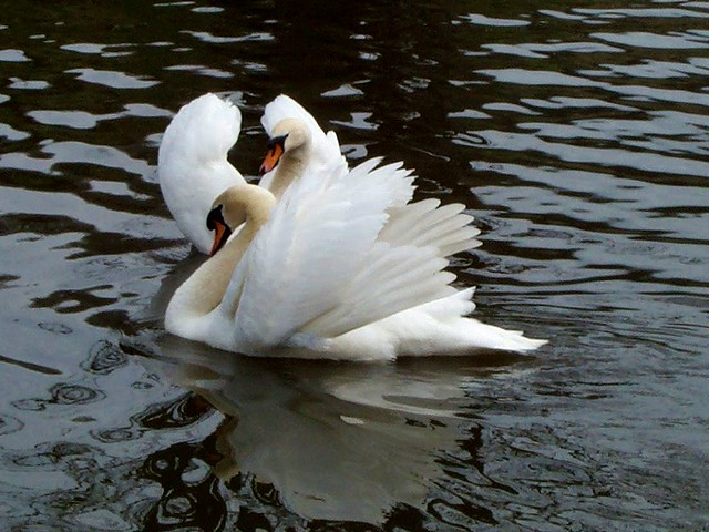 Swans & Lovers