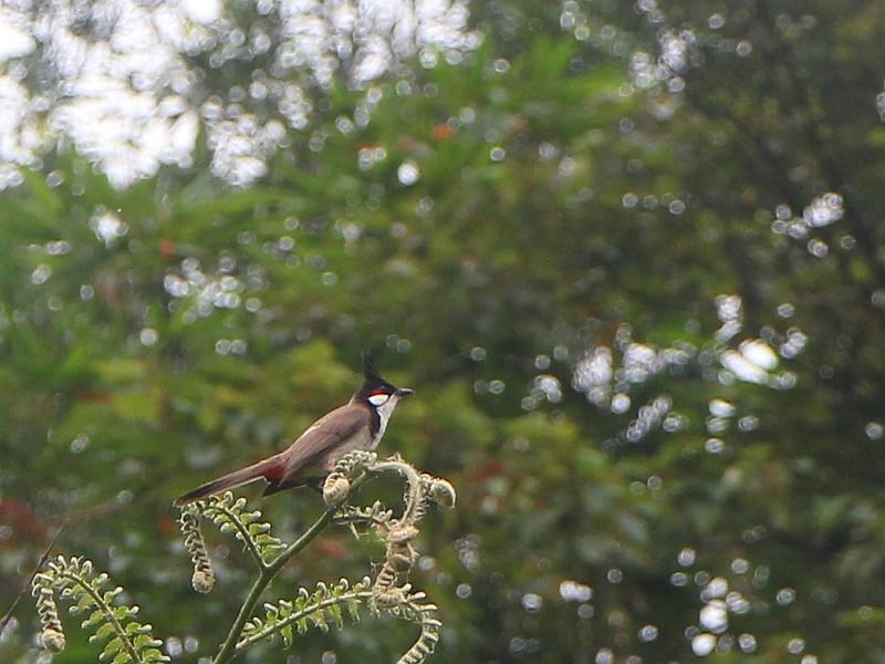賞鳥: 紅耳鵯(Red-whiskered Bulbul), 6/22/2014