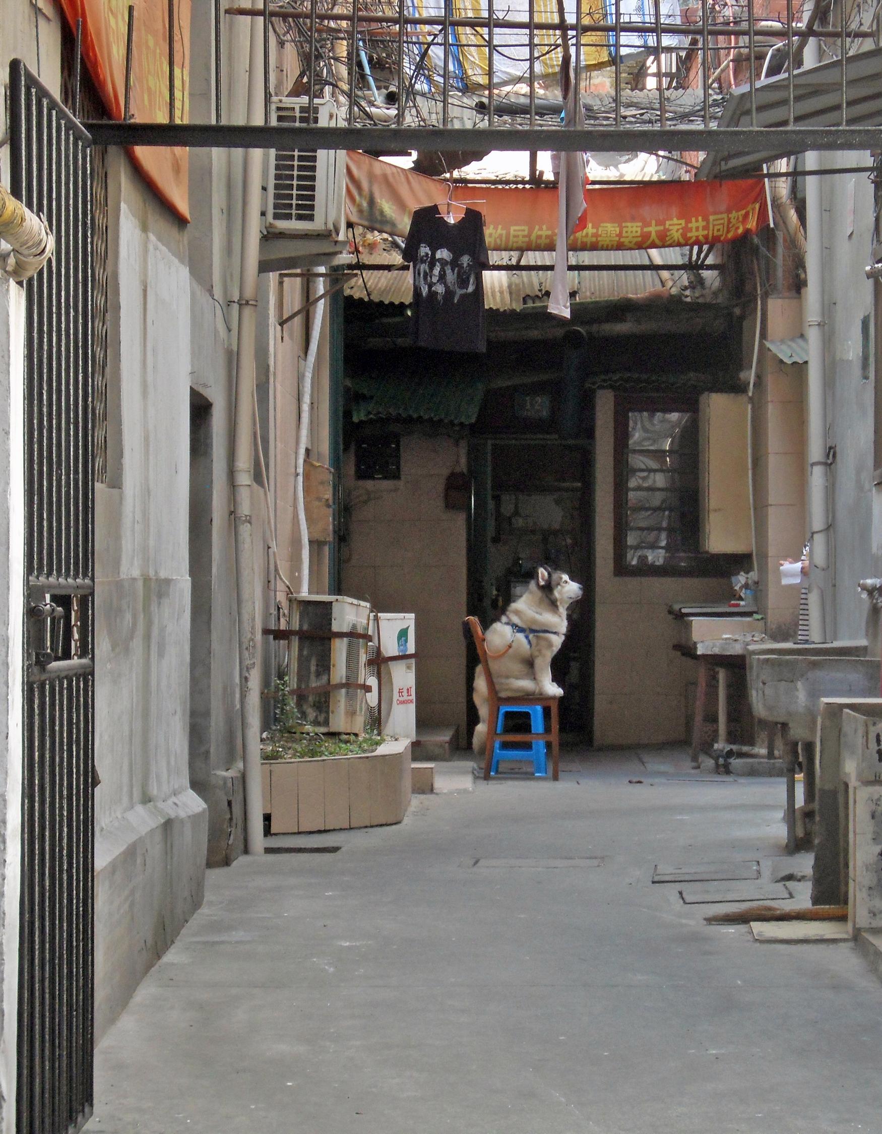 shanghai-dog